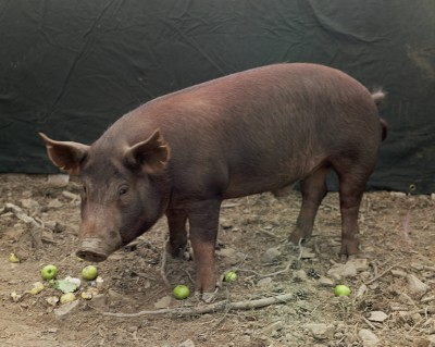 Boar, 2010